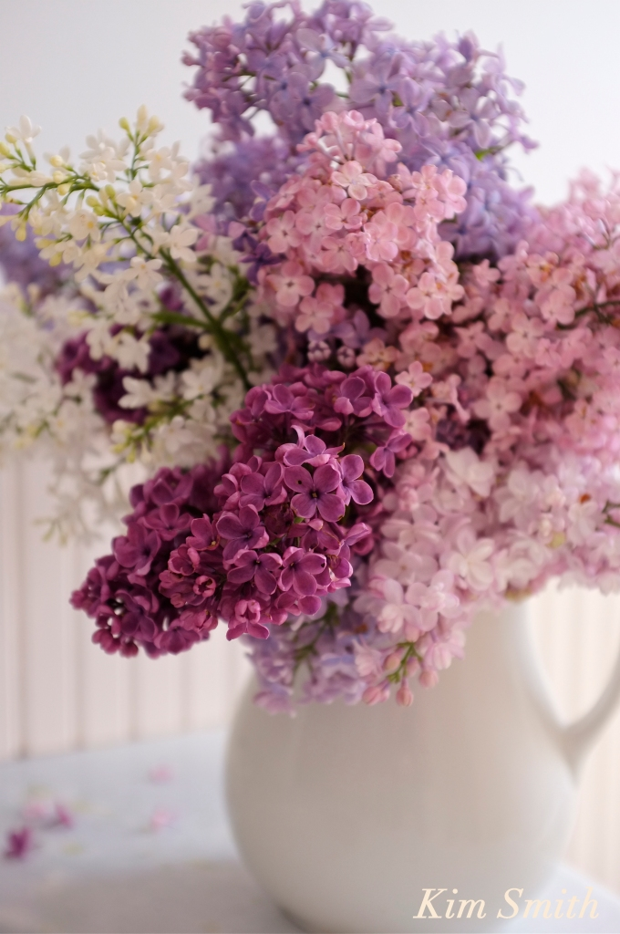 Fragrant lilacs copyright Kim Smith