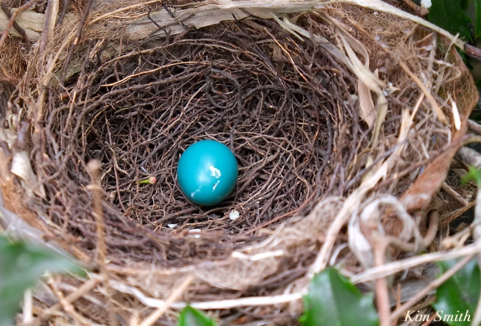 Gray Catbird egg nest copyright Kim Smith