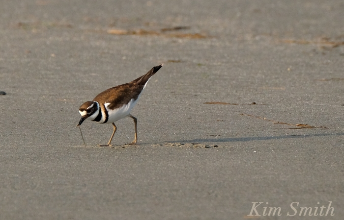 KILLDEER GOOD HARBOR BEACH GLOUCESTER COPYRIGHT KIM SMITH