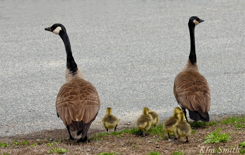 Look Both Ways geese goslings crossing road Kim Smith  copy