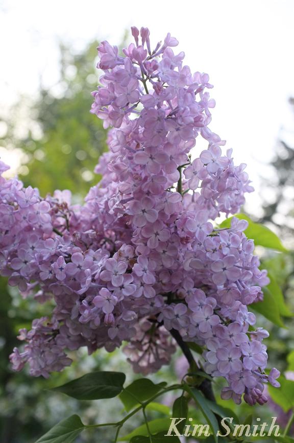 Maiden's Blush Lilac copyright Kim Smith