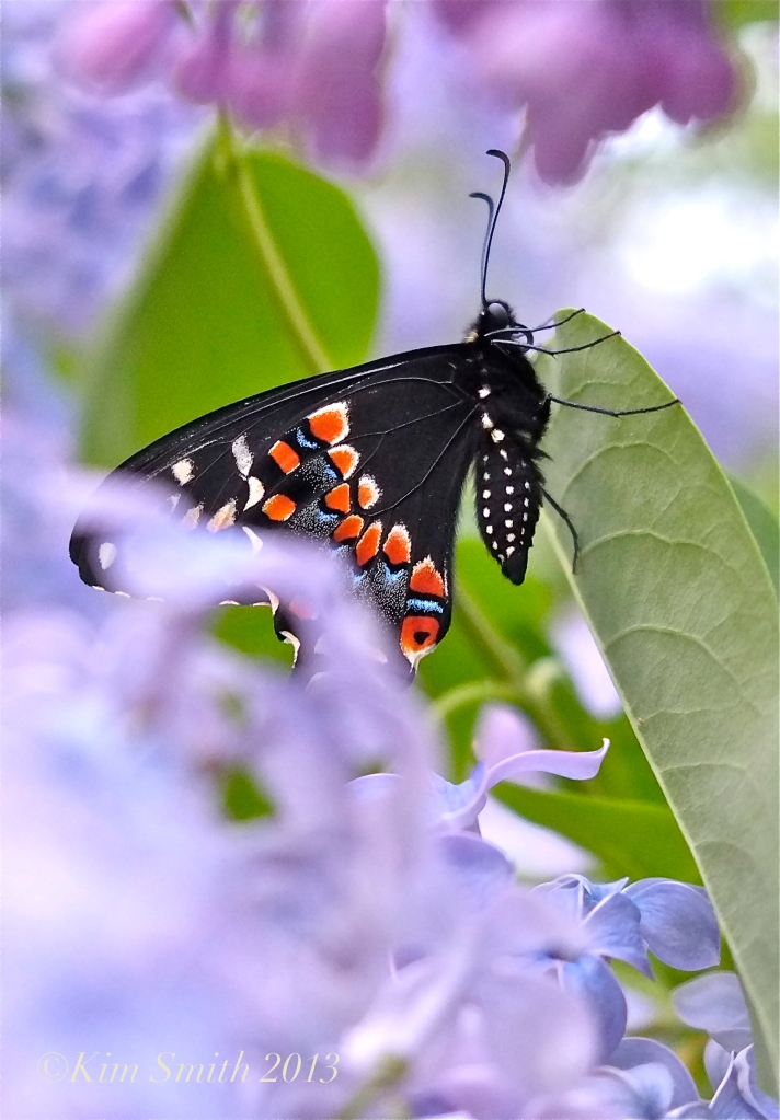 Male Black Swallowtail Wedgwood Blue Lilac copyright Kim Smith