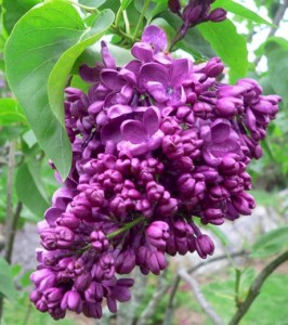 Mothers-Day-Lilac-Sunday-Arnold-Arboretum-Boston-May-12-2013-266x300