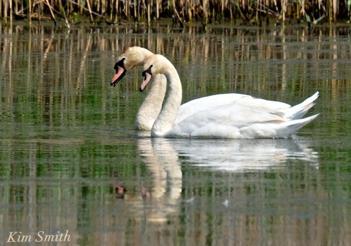 Pair Cape Ann Swans third year swans copyright Kim Smith