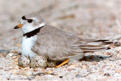 piping-plover-on-nest