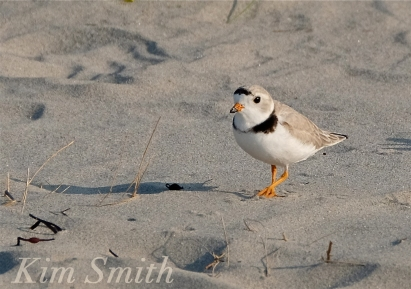 PIPING PLOVERS -4 GOOD HARBOR BEACH GLOUCESTER COPYRIGHT KIM SMITH