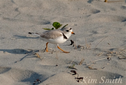 PIPING PLOVERS  -5 GOOD HARBOR BEACH GLOUCESTER COPYRIGHT KIM SMITH