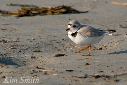 PIPING PLOVERS -8 GOOD HARBOR BEACH GLOUCESTER COPYRIGHT KIM SMITH