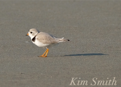 PIPING PLOVERS -9 GOOD HARBOR BEACH GLOUCESTER COPYRIGHT KIM SMITH