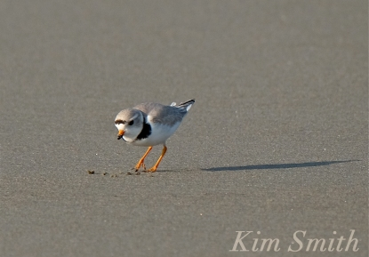 PIPING PLOVERS Eating 1 GOOD HARBOR BEACH GLOUCESTER COPYRIGHT KIM SMITH