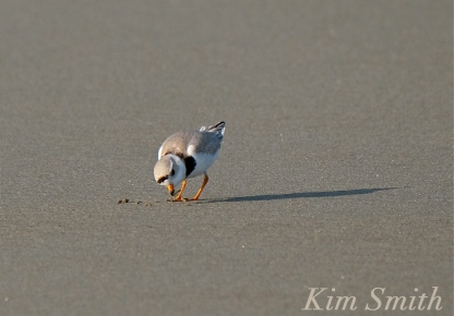 PIPING PLOVERS Eating 2 GOOD HARBOR BEACH GLOUCESTER COPYRIGHT KIM SMITH