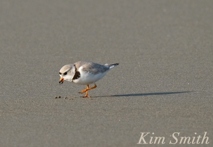 PIPING PLOVERS Eating 3 GOOD HARBOR BEACH GLOUCESTER COPYRIGHT KIM SMITH