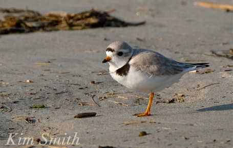 PIPING PLOVERS GOOD -7 HARBOR BEACH GLOUCESTER COPYRIGHT KIM SMITH