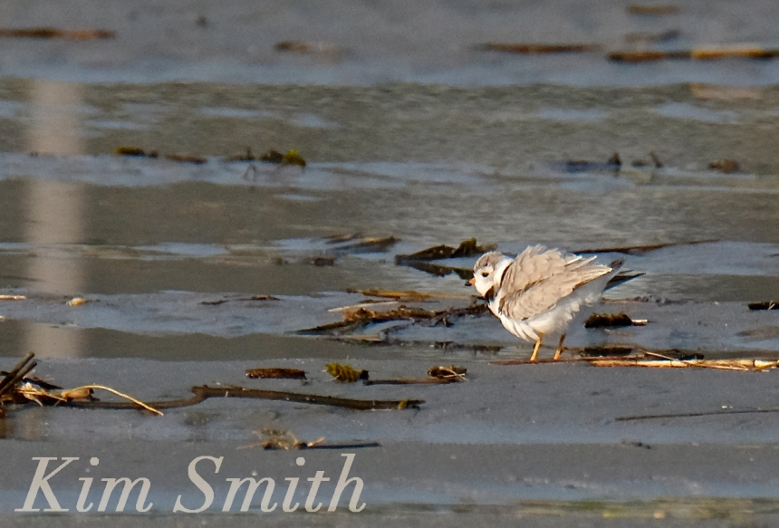 PIPING PLOVERS GOOD HARBOR BEACH GLOUCESTER -1 COPYRIGHT KIM SMITH