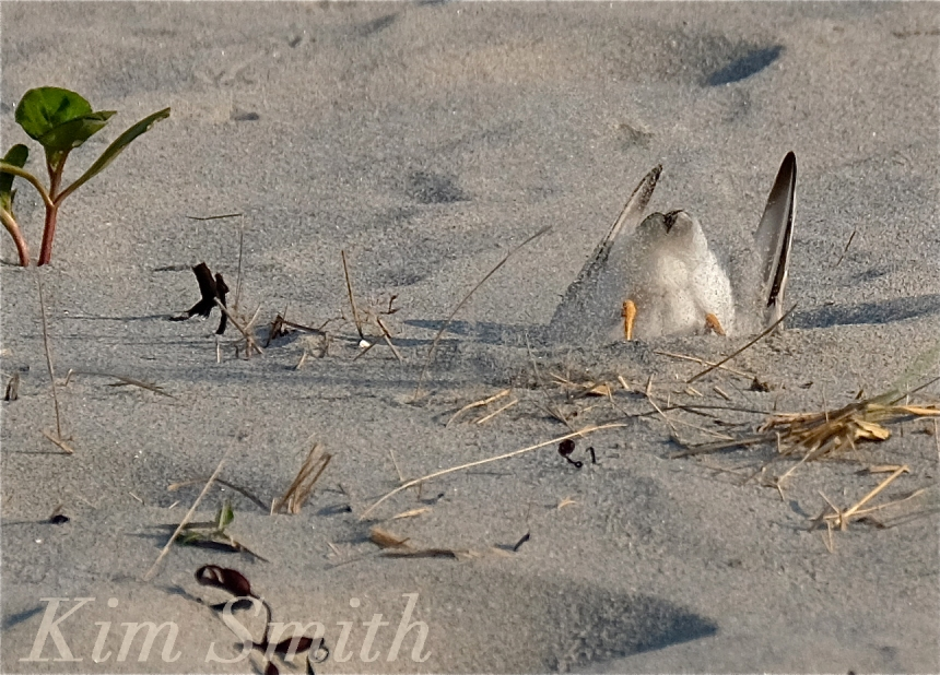 PIPING PLOVERS NESTING -3 GOOD HARBOR BEACH GLOUCESTER COPYRIGHT KIM SMITH
