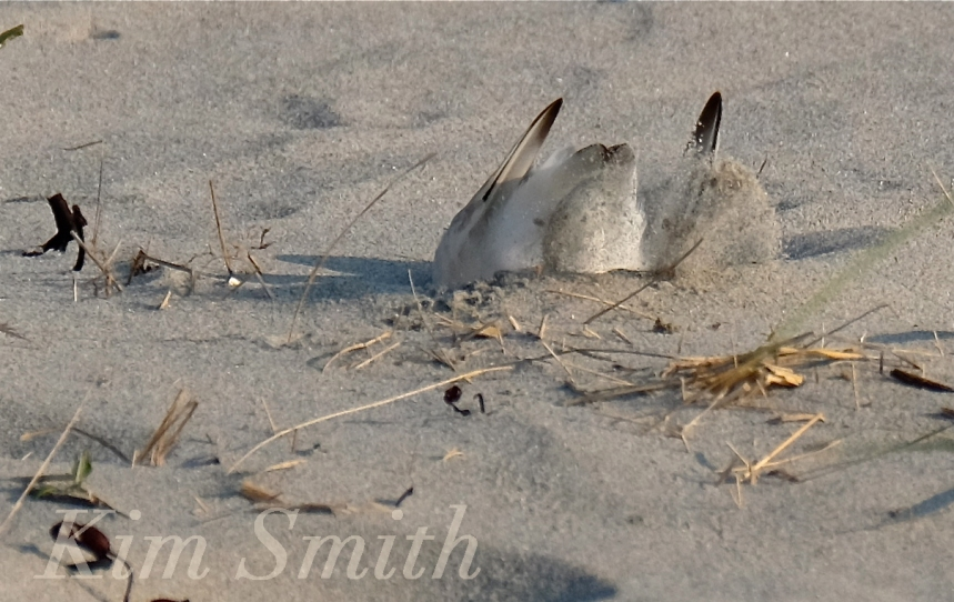 PIPING PLOVERS NESTING -4 GOOD HARBOR BEACH GLOUCESTER COPYRIGHT KIM SMITH