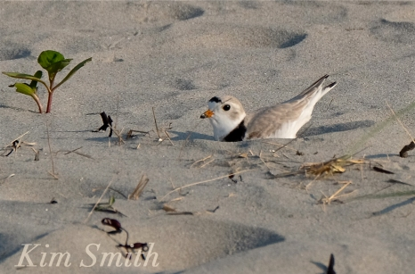 PIPING PLOVERS NESTING GOOD HARBOR BEACH GLOUCESTER COPYRIGHT KIM SMITH