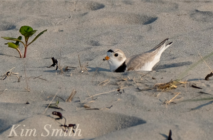 PIPING PLOVERS NESTING GOOD HARBOR BEACH GLOUCESTER COPYRIGHT KIM SMITH