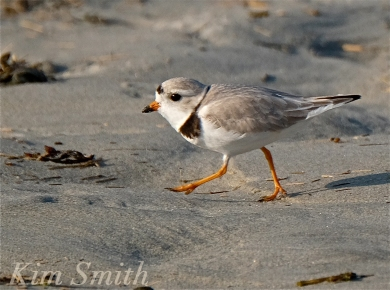 PIPING PLOVERS RUNNING  GOOD HARBOR BEACH GLOUCESTER COPYRIGHT KIM SMITH