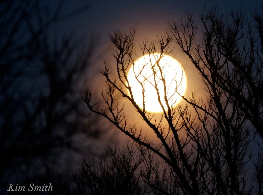 Shadblow moonlight copyright Kim Smith
