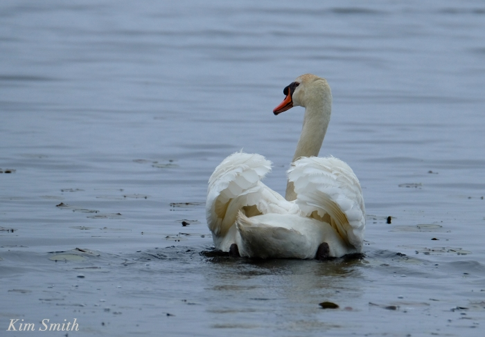 Swan Busking Cygnus immutabilis copyright Kim Smith