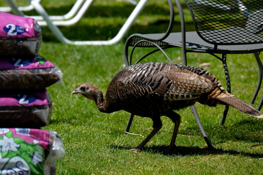 Wild turkey Gloucester Massachusetts Meleagris gallopavo c Kim Smith