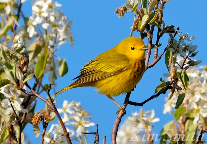 Yellow Warbler Shadblow Amelanchier copyright Kim Smith