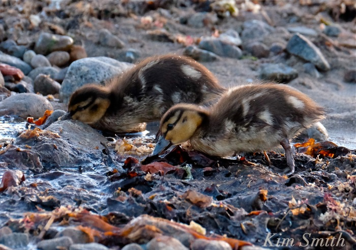 Ducklings foraging in seaweed copyright Kim Smith.JPG