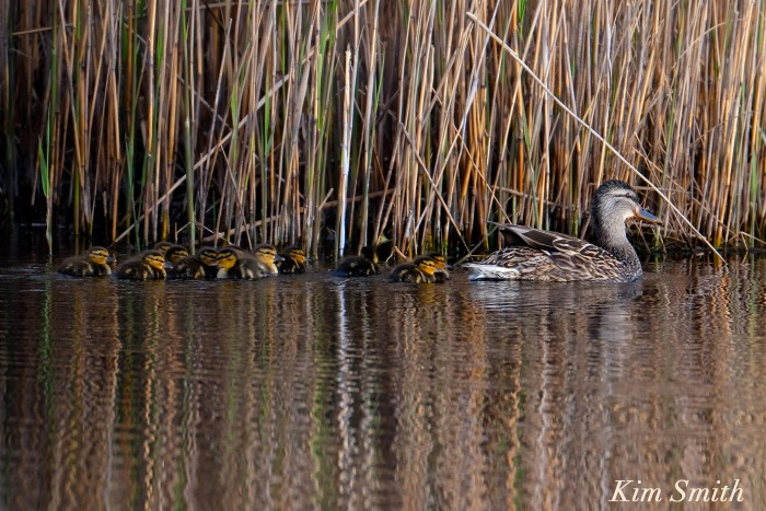 Female mallard ducklings -1 copyright Kim Smith