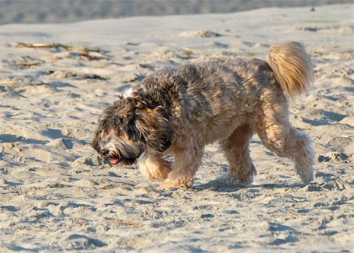 Good Harbor Beach Dog copyright Kim Smith