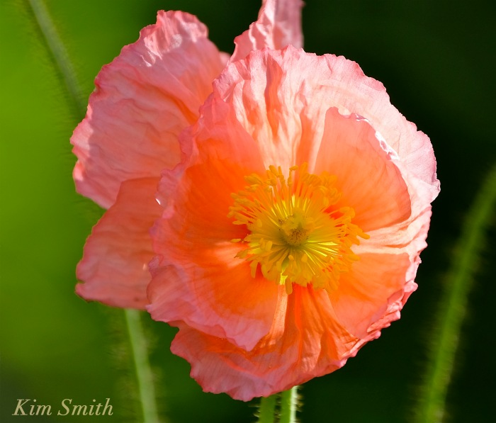 Iceland Poppies copyright Kim Smith