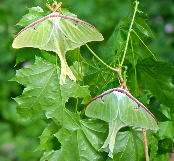 Male Female Luna Moth dorsal Copyright Kim Smith