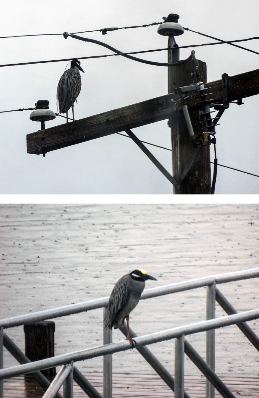 night heron on pole