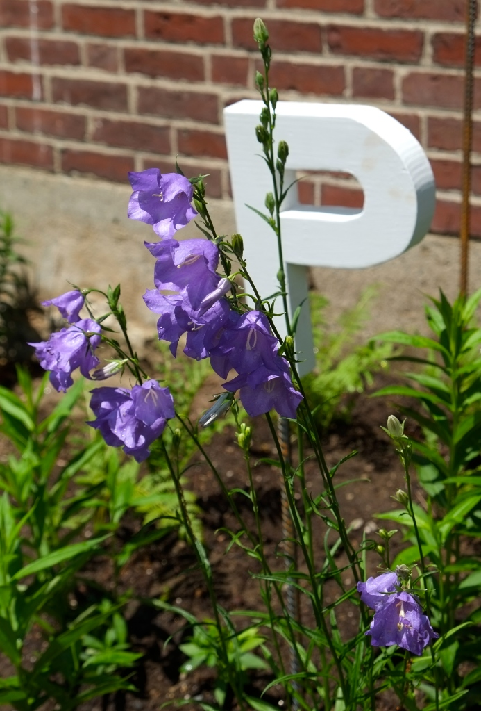 P is for Peach leaf Bellflower copyright Kim Smith