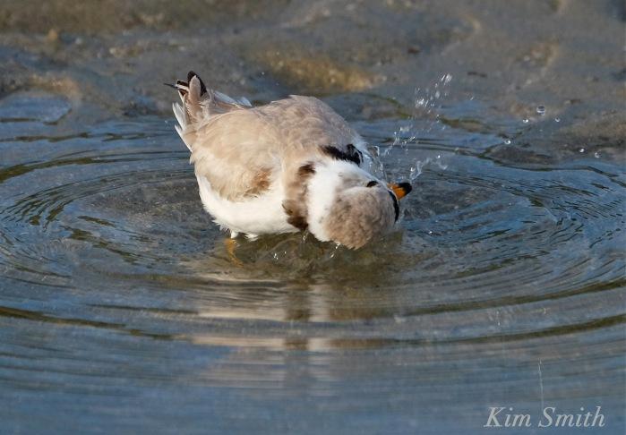 Piping plover bath -2 copyright Kim Smith.