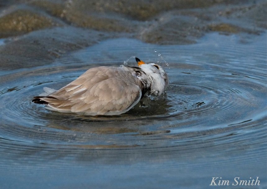 Piping plover bath copyright Kim Smith.