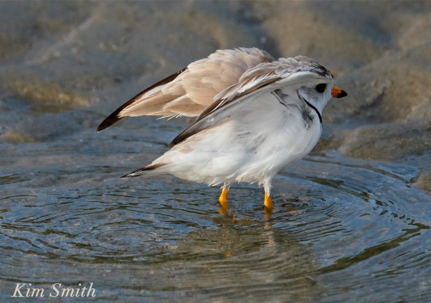 Piping plover drying wings copyright Kim Smith.