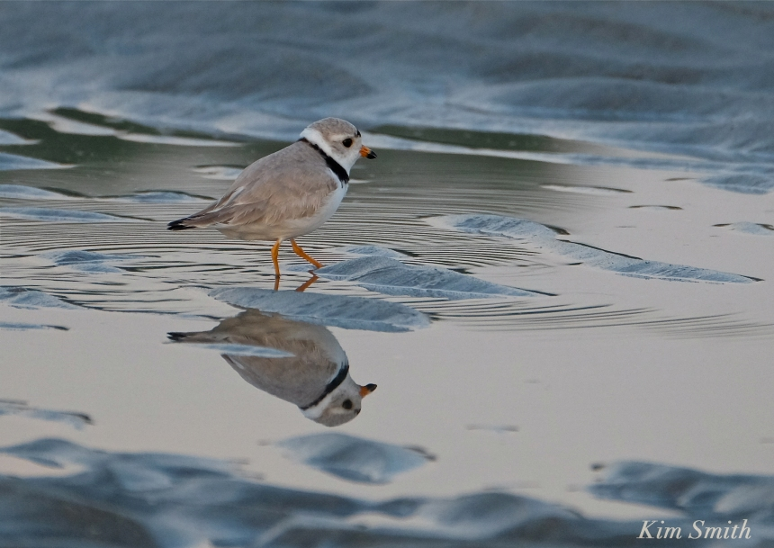 Piping Plover good Harbor Beach Gloucester MA -2 copyright Kim Smith