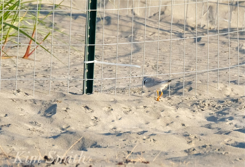 Piping Plover retruning to nest copyright Kim Smith