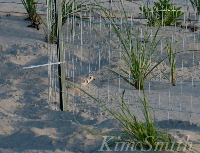 Piping Plovers nesting -3 Gloucester MA copyright Kim Smith