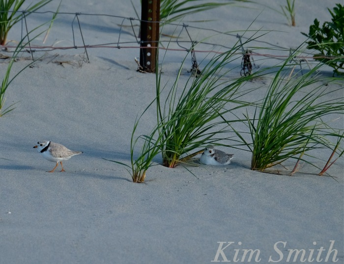 Piping Plovers nesting Gloucester MA copyright Kim Smith