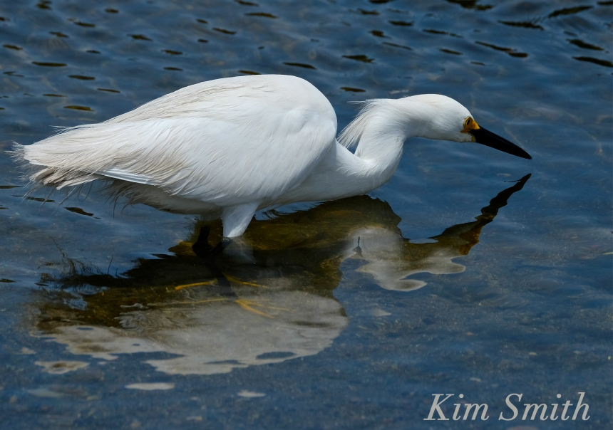 Snowy Egret Egretta thula -1 copyright Kim Smith