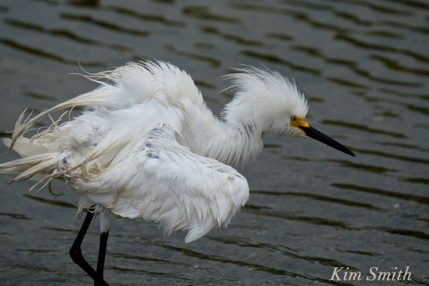 Snowy Egret Egretta thula -10 copyright Kim Smith