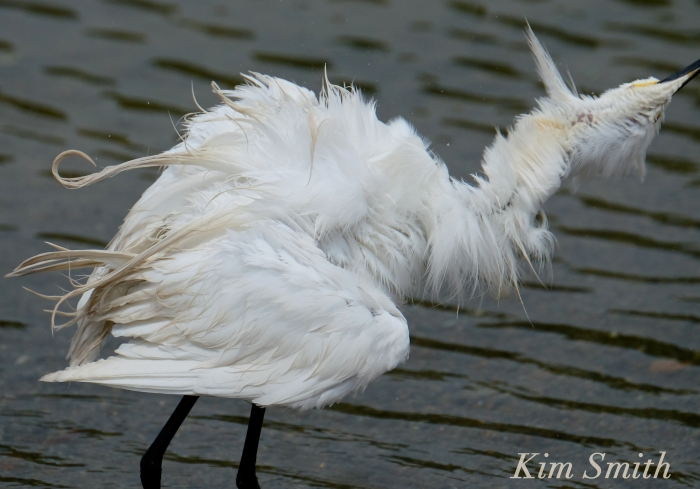 Snowy Egret Egretta thula -11 copyright Kim Smith