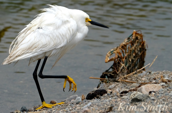 Snowy Egret Egretta thula -12 copyright Kim Smith