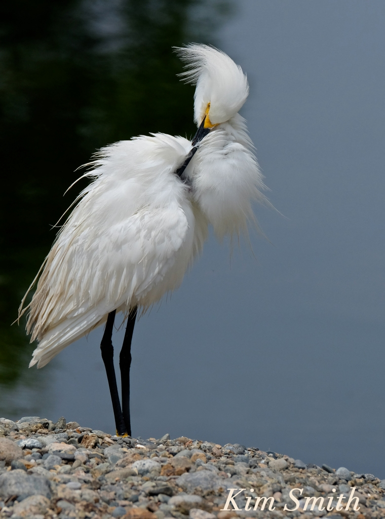 Snowy Egret Egretta thula -19  copyright Kim Smith