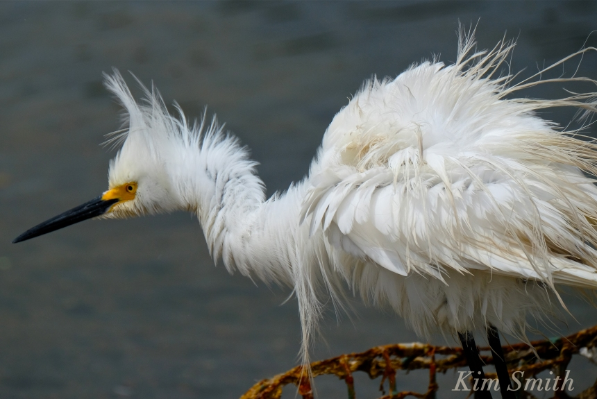 Snowy Egret Egretta thula -23 copyright Kim Smith