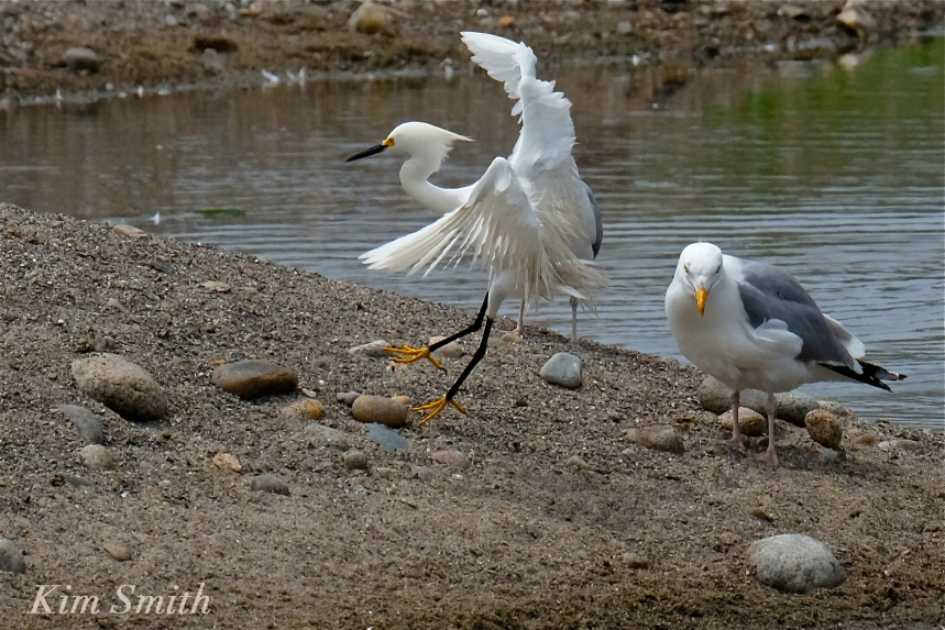 Snowy Egret Egretta thula -24  copyright Kim Smith