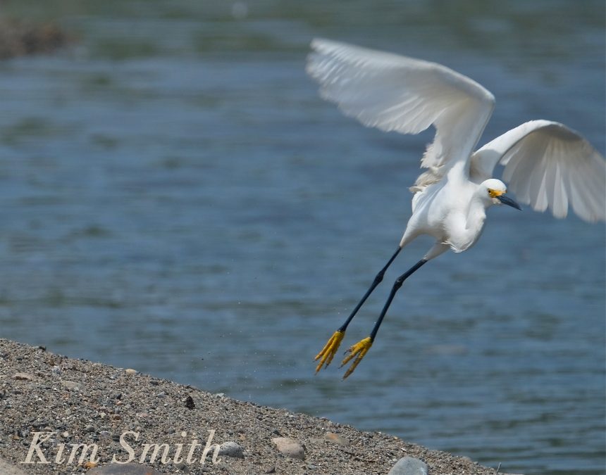 Snowy Egret Egretta thula -3 copyright Kim Smith