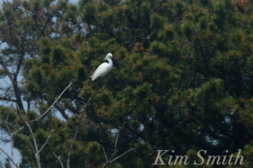 Snowy Egret Egretta thula -4 copyright Kim Smith
